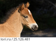 Купить «Headshot of  wild Gotland russ colt foal, the only pony native to Sweden, Gotland Island, Sweden. June.», фото № 25126481, снято 17 августа 2018 г. (c) Nature Picture Library / Фотобанк Лори