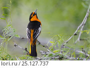Купить «Bullock's oriole (Icterus bullockii) male looking for insects, South Texas, USA, April.», фото № 25127737, снято 23 января 2019 г. (c) Nature Picture Library / Фотобанк Лори