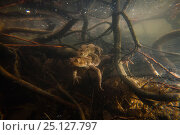 Купить «Common toad (Bufo bufo) in breeding pond, Alsace, France, April.», фото № 25127797, снято 21 февраля 2020 г. (c) Nature Picture Library / Фотобанк Лори