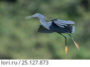 Купить «Black egret (Egretta ardesiaca) coming into land, Ankarafantsika National Park, Madagascar», фото № 25127873, снято 17 июня 2019 г. (c) Nature Picture Library / Фотобанк Лори