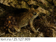 Купить «Midwife Toad (Alytes obstetricans) male carries eggs wrapped around his back legs until they hatch, Burgundy, France», фото № 25127909, снято 31 марта 2020 г. (c) Nature Picture Library / Фотобанк Лори