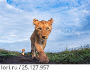 Купить «Lion (Panthera leo) cub aged about 11 months approaching camera with curiosity, Maasai Mara National Reserve, Kenya. Taken with remote wide angle camera.», фото № 25127957, снято 21 августа 2019 г. (c) Nature Picture Library / Фотобанк Лори