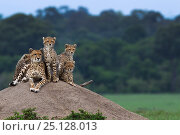Купить «Cheetah (Acinonyx jubatus) female and cubs aged 6-9 months sitting on a termite mound, Maasai Mara National Reserve, Kenya.», фото № 25128013, снято 5 августа 2020 г. (c) Nature Picture Library / Фотобанк Лори
