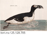 Illustration of Great auk (Pinguinus impennis) swimming, from Welsh naturalist Thomas Pennant's book 'British Zoology' 1776 .This species, now extinct... Стоковое фото, фотограф Paul D Stewart / Nature Picture Library / Фотобанк Лори