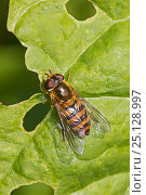 Купить «Hoverfly (Epistrophe melanostoma) Brockley Cemetery, Lewisham, London. May», фото № 25128997, снято 22 августа 2018 г. (c) Nature Picture Library / Фотобанк Лори
