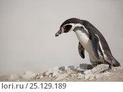 Купить «Humboldt penguin (Spheniscus humboldti) walking along beach, Punta San Juan, Peru», фото № 25129189, снято 16 августа 2018 г. (c) Nature Picture Library / Фотобанк Лори