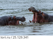 Купить «Rf- hippopotamuses (Hippopotamus amphibius) fighting, Londolozi Private Game Reserve, Sabi Sands Game Reserve, South Africa.», фото № 25129341, снято 15 октября 2018 г. (c) Nature Picture Library / Фотобанк Лори