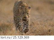 Купить «RF - Leopard (Panthera pardus) walking,  Londolozi Private Game Reserve, Sabi Sands Game Reserve, South Africa.», фото № 25129369, снято 23 марта 2019 г. (c) Nature Picture Library / Фотобанк Лори
