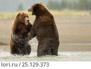 Купить «Coastal brown bears (Ursus arctos) fighting, Lake Clarke National Park, Alaska, September», фото № 25129373, снято 26 февраля 2020 г. (c) Nature Picture Library / Фотобанк Лори