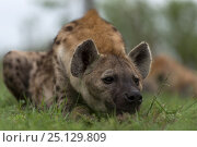 Купить «Brown hyaena (Hyaena brunnea) resting, Londolozi Private Game Reserve, Sabi Sands Game Reserve, South Africa.», фото № 25129809, снято 24 июня 2019 г. (c) Nature Picture Library / Фотобанк Лори
