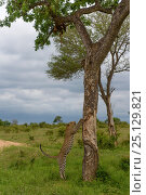 Купить «Leopard (Panthera pardus) climbing tree,  Londolozi Private Game Reserve, Sabi Sands Game Reserve, South Africa. Sequence 2 of 12», фото № 25129821, снято 17 ноября 2018 г. (c) Nature Picture Library / Фотобанк Лори