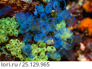 Купить «Blue sea squirts or tunicates (Clavelina moluccensis)  West Papua, Indonesia.», фото № 25129965, снято 21 августа 2018 г. (c) Nature Picture Library / Фотобанк Лори