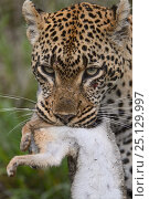 Купить «Leopard (Panthera pardus) with hare prey, Londolozi Private Game Reserve, Sabi Sands Game Reserve, South Africa.», фото № 25129997, снято 26 марта 2019 г. (c) Nature Picture Library / Фотобанк Лори
