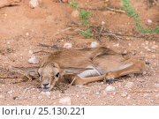 Springbok (Antidorcas marsupialis) baby resting on ground using camouflage for defence, Kgalagadi Transfrontier Park, South Africa. Стоковое фото, фотограф Ann & Steve Toon / Nature Picture Library / Фотобанк Лори