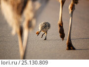 Купить «Ostrich (Struthio camelus) chick pecking ground near the legs of two adults walking, Rietvlei Nature Reserve,  Gauteng Province, South Africa, October.», фото № 25130809, снято 17 августа 2018 г. (c) Nature Picture Library / Фотобанк Лори