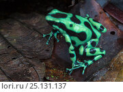 Купить «Green and black poison frog (Dendrobates auratus) Central Caribbean foothills, Costa Rica», фото № 25131137, снято 4 марта 2020 г. (c) Nature Picture Library / Фотобанк Лори