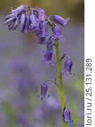 Купить «Bluebells (Hyacinthoides non-sripta) flowering in beech forest, Hallerbos, Vlaams-Brabant, Belgium, April.», фото № 25131289, снято 23 октября 2019 г. (c) Nature Picture Library / Фотобанк Лори