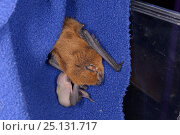 Купить «Rescued Common pipistrelle bat (Pipistrellus pipistrellus) with a young pup, just a few days old, partly hidden as it suckles from her, North Devon Bat Care, Barnstaple, Devon, UK, June 2016.», фото № 25131717, снято 26 мая 2019 г. (c) Nature Picture Library / Фотобанк Лори