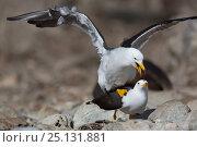 Купить «Band-tailed gull (Larus belcheri) pair mating on beach, Punta San Juan, Peru», фото № 25131881, снято 16 августа 2018 г. (c) Nature Picture Library / Фотобанк Лори