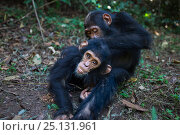 Eastern chimpanzee (Pan troglodytes schweinfurtheii) 'Gimli' aged 8 years grooming infant brother 'Gizmo' aged 3 years. Gombe National Park, Tanzania. May 2012. Стоковое фото, фотограф Anup Shah / Nature Picture Library / Фотобанк Лори