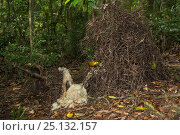 Купить «Golden bowerbird (Prionodura newtoniana) bower with his lichen and flower arrangements.   Atherton Tablelands, Queensland, Australia. Endemic.», фото № 25132157, снято 22 января 2019 г. (c) Nature Picture Library / Фотобанк Лори