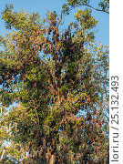 Купить «Little red flying foxes (Pteropus scapulatus) roosting in clusters. Atherton Tablelands, Queensland, Australia.», фото № 25132493, снято 24 марта 2019 г. (c) Nature Picture Library / Фотобанк Лори