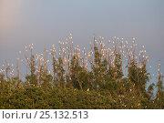 Sulphur-crested cockatoo (Cacatua galerita) flock roosting, Atherton... Стоковое фото, фотограф Jurgen Freund / Nature Picture Library / Фотобанк Лори