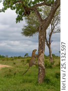 Купить «Leopard (Panthera pardus) climbing tree, Londolozi Private Game Reserve, Sabi Sands Game Reserve, South Africa. Sequence 3 of 12», фото № 25132597, снято 17 ноября 2018 г. (c) Nature Picture Library / Фотобанк Лори
