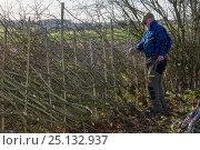 Купить «Traditional hedge laying, Fosse Cross, Gloucestershire, UK. November 2015.», фото № 25132937, снято 19 августа 2018 г. (c) Nature Picture Library / Фотобанк Лори