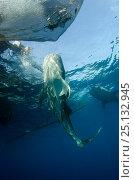 Купить «Whale Shark (Rhincodon typus) feeding at Bagan (floating fishing platform) Cenderawasih Bay, West Papua, Indonesia. Bagan fishermen see whale sharks as...», фото № 25132945, снято 26 марта 2019 г. (c) Nature Picture Library / Фотобанк Лори