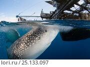 Купить «Whale Shark (Rhincodon typus) feeding at Bagan (floating fishing platform) Cenderawasih Bay, West Papua, Indonesia. Bagan fishermen see whale sharks as...», фото № 25133097, снято 26 марта 2019 г. (c) Nature Picture Library / Фотобанк Лори