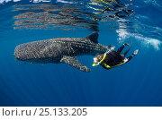 Купить «Whale Shark (Rhincodon typus) and scuba diver tourist, Cenderawasih Bay, West Papua, Indonesia.», фото № 25133205, снято 26 марта 2019 г. (c) Nature Picture Library / Фотобанк Лори
