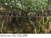 Купить «Red Mangrove (Rhizophora mangle) and Turtle grass (Thallasia testinudum) Lighthouse Reef Atoll, Belize.», фото № 25133289, снято 4 августа 2020 г. (c) Nature Picture Library / Фотобанк Лори