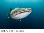 Купить «Whale shark (Rhincodon typus) front view portrait, Cenderawasih Bay, West Papua. Indonesia.», фото № 25133313, снято 26 марта 2019 г. (c) Nature Picture Library / Фотобанк Лори