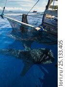 Купить «Whale Shark (Rhincodon typus) feeding at Bagan (floating fishing platform) Cenderawasih Bay, West Papua, Indonesia. Bagan fishermen see whale sharks as...», фото № 25133405, снято 26 марта 2019 г. (c) Nature Picture Library / Фотобанк Лори