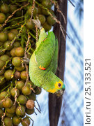 Orange-winged Amazon parrot (Amazona amazonica) feeding on palm fruits. Southern Pantanal, Moto Grosso do Sul State, Brazil. September. Стоковое фото, фотограф Nick Garbutt / Nature Picture Library / Фотобанк Лори