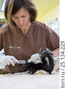 Купить «Striped skunk (Mephitis mephitis) Lyanne Schuster giving subcutaneous fluids to orphaned baby age 4-5 weeks old,, WildCare, San Rafael, California, June. Model released.», фото № 25134229, снято 18 августа 2018 г. (c) Nature Picture Library / Фотобанк Лори