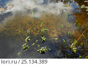 Купить «Common toad tadpoles (Bufo bufo) mass hatching in pond, Sussex, UK», фото № 25134389, снято 21 февраля 2020 г. (c) Nature Picture Library / Фотобанк Лори