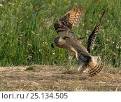 Купить «Short eared owls (Asio flammeus) squabbling on ground, Extremadura, Spain, June. Small reproduction only.», фото № 25134505, снято 15 августа 2018 г. (c) Nature Picture Library / Фотобанк Лори