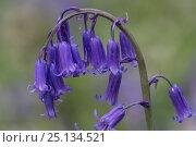 Купить «Bluebells (Hyacinthoides non-sripta) flowering in beech forest, Hallerbos, Vlaams-Brabant, Belgium, April.», фото № 25134521, снято 23 октября 2019 г. (c) Nature Picture Library / Фотобанк Лори