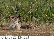 Купить «Short eared owl (Asio flammeus) squabbling on ground, Extremadura, Spain, June. Small reproduction only.», фото № 25134553, снято 15 августа 2018 г. (c) Nature Picture Library / Фотобанк Лори