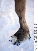 Купить «Close up of Reindeer hoof in snow (Rangifer tarandus). Yar-Sale district, Yamal, Northwest Siberia, Russia. April.», фото № 25135213, снято 19 июля 2019 г. (c) Nature Picture Library / Фотобанк Лори