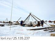 Купить «Nenet herders dismantling tent in tundra. Yar-Sale district. Yamal, Northwest Siberia, Russia. April  2016.», фото № 25135237, снято 19 июля 2019 г. (c) Nature Picture Library / Фотобанк Лори