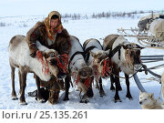 Купить «Ekaterina Yaptik,  Nenet herder harnessing reindeers (Rangifer tarandus) to sledge for spring migration. Yar-Sale district, Yamal, Northwest Siberia, Russia. April 2016.», фото № 25135261, снято 19 июля 2019 г. (c) Nature Picture Library / Фотобанк Лори