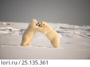 Купить «Two Polar bear (Ursus maritimus) cubs play fighting, 1002 Area, Arctic National Wildlife Refuge, North Slope, Alaska, USA, October. Vulnerable species.», фото № 25135361, снято 21 мая 2018 г. (c) Nature Picture Library / Фотобанк Лори