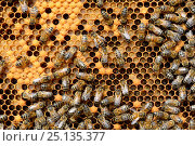 Купить «European worker honey bees (Apis mellifera) on comb feeding larvae in cells. Lorraine, France. August.», фото № 25135377, снято 21 марта 2018 г. (c) Nature Picture Library / Фотобанк Лори