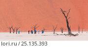 Купить «Tourists walking among ancient dead Camelthorn tree (Vachellia erioloba) in Deadvlei, Sossusvlei Salt Pan, Namib Naukluft National Park, Namibia», фото № 25135393, снято 23 марта 2019 г. (c) Nature Picture Library / Фотобанк Лори