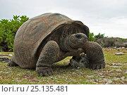 Aldabra Giant Tortoise (Aldabrachelys gigantea) portrait on Grand Terre, Natural World Heritage Site, Aldabra. Стоковое фото, фотограф Willem Kolvoort / Nature Picture Library / Фотобанк Лори