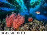 Red gorgonians (Lophogorgia chilensis) growing beneath a Giant kelp (Macrocystis pyrifera) forest, with female California sheephead (Semicossyphus pulcher... Стоковое фото, фотограф Alex Mustard / Nature Picture Library / Фотобанк Лори