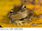 Купить «Green-eyed treefrog (Litoria genimaculata) on a yellow leaf, Queensland,Australia.», фото № 25135533, снято 20 июля 2019 г. (c) Nature Picture Library / Фотобанк Лори